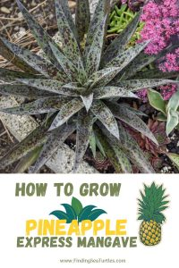 How to Grow Pineapple Express Mangave #Mangave #PineappleExpressMangave #Garden #Gardening #MadAboutMangave #DroughtTolerant #Succulent #WaltersGardensInc