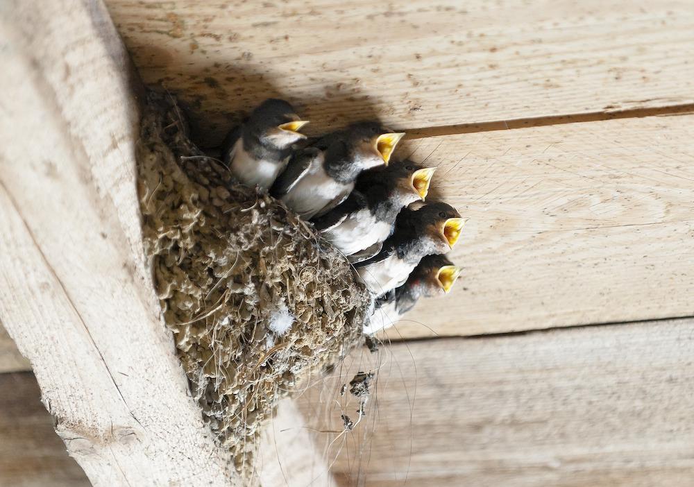 Hungry Swallows in Nest #Wildlife #NativePlants #Gardening #Birds #AttractBirds #NestingMaterials #NestBuilding #BeneficialForPollinators #GardeningForPollinators