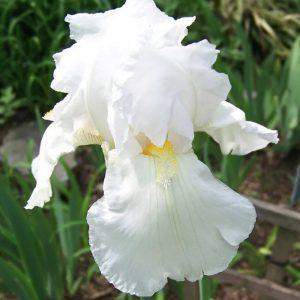 Low Water Needs - Immortality Reblooming Bearded Iris #Garden #Gardening #DroughtTolerant #DroughtResistant #BeneficialForPollinators #GardeningForPollinators #Waterwise #WaterwiseGarden