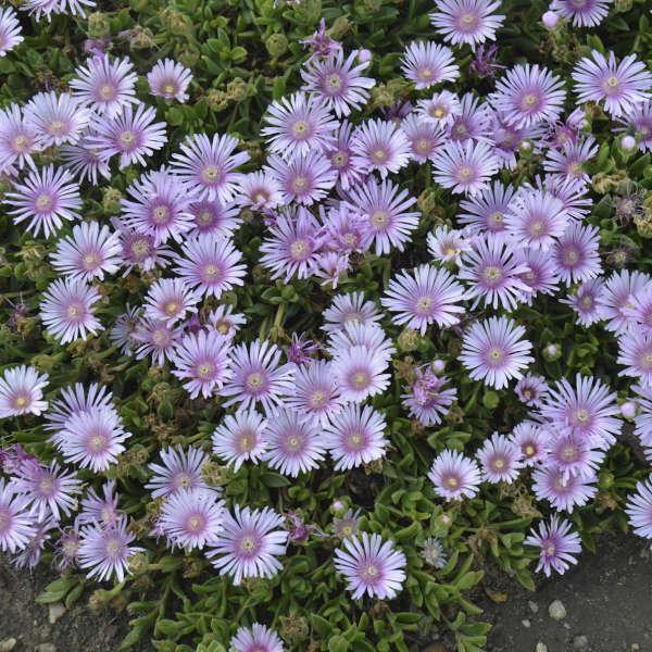 Silver Fox Mangave: a Garden Wonder Lavender Ice Delosperma #Mangave #SilverFoxMangave #Garden #Gardening #MadAboutMangave #DroughtTolerant #Succulent #WaltersGardensInc
