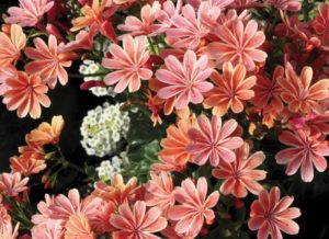 Waterwise Lewisia Constant Coral photo by Terra Nova Nurseries Inc #Gardening #DroughtTolerant #DroughtResistant #BeneficialForPollinators #GardeningForPollinators #Waterwise #WaterwiseGarden