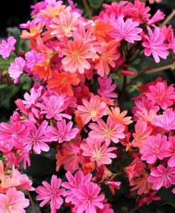 Waterwise Planting Lewisia cotyledon Sunset Strain #Gardening #DroughtTolerant #DroughtResistant #BeneficialForPollinators #GardeningForPollinators #Waterwise #WaterwiseGarden