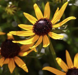 Waterwise Gardening Little Goldstar Black Eyed Susan #Gardening #DroughtTolerant #DroughtResistant #BeneficialForPollinators #GardeningForPollinators #Waterwise #WaterWiseGarden
