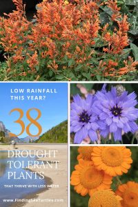 Low Rainfall this Year 38 Drought Tolerant Plants #Garden #Gardening #DroughtTolerant #DroughtResistant #BeneficialForPollinators #GardeningForPollinators #Waterwise #WaterWiseGarden