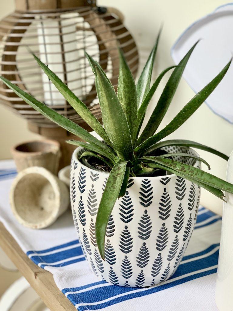 How to Grow Sun Loving Mangave Mangave #Mangave #PineappleExpressMangave #Garden #Gardening #MadAboutMangave #DroughtTolerant #Succulent #WaltersGardensInc