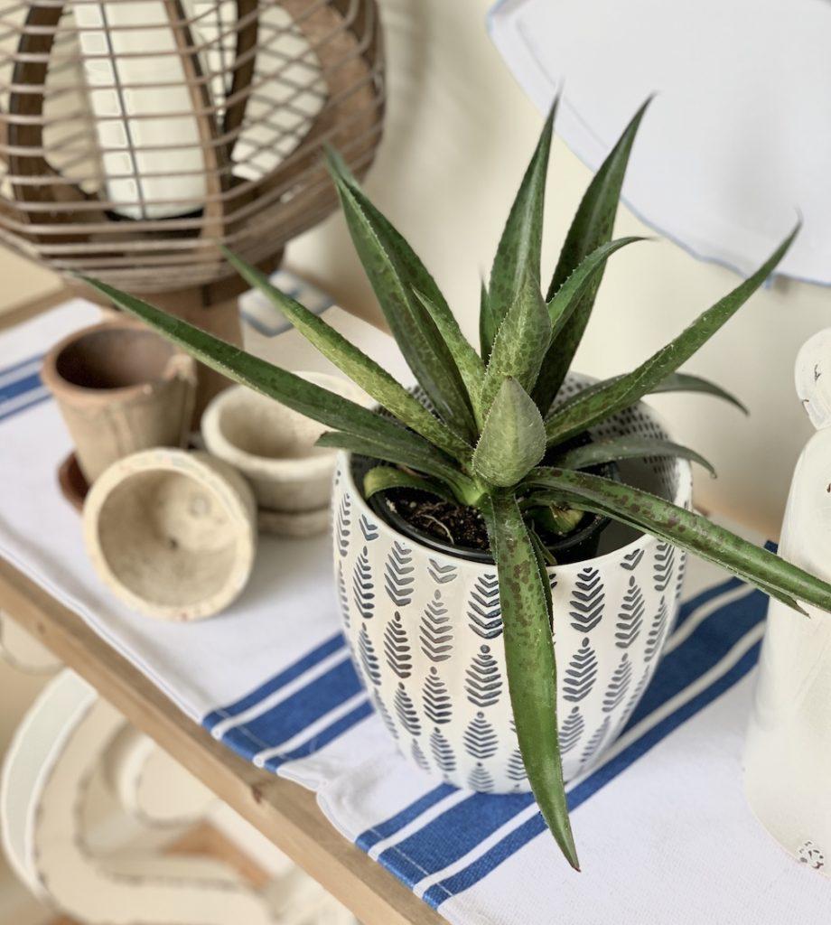 Indoor Pineapple Express Mangave #Mangave #PineappleExpressMangave #Garden #Gardening #MadAboutMangave #DroughtTolerant #Succulent #WaltersGardensInc
