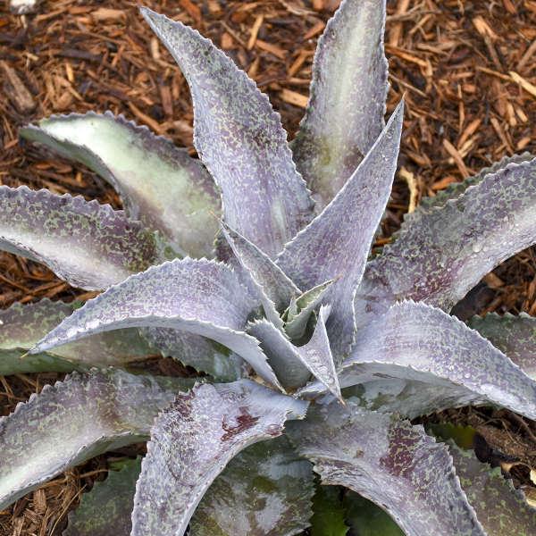 Mangave Silver Fox Mangave #Mangave #SilverFoxMangave #Garden #Gardening #MadAboutMangave #DroughtTolerant #Succulent #WaltersGardensInc