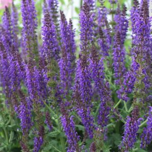 Plants that are Drought Tolerant May Night Salvia #Gardening #DroughtTolerant #DroughtResistant #BeneficialForPollinators #GardeningForPollinators #Waterwise #WaterWiseGarden