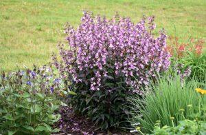North American Native Midnight Masquerade Beardtongue #Gardening #DroughtTolerant #DroughtResistant #BeneficialForPollinators #GardeningForPollinators #Waterwise #WaterWiseGarden
