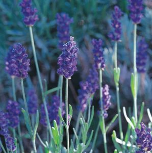 Plants that are Drought Tolerant Mitcham Gray English Lavender #Gardening #DroughtTolerant #DroughtResistant #BeneficialForPollinators #GardeningForPollinators #Waterwise #WaterwiseGarden