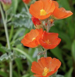 Plants that are Drought Tolerant Munro's Globe Mallow #Gardening #DroughtTolerant #DroughtResistant #BeneficialForPollinators #GardeningForPollinators #Waterwise #WaterWiseGarden