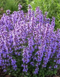 Waterwise Plants Nepeta Cat's Pajamas #Gardening #DroughtTolerant #DroughtResistant #BeneficialForPollinators #GardeningForPollinators #Waterwise #WaterwiseGarden