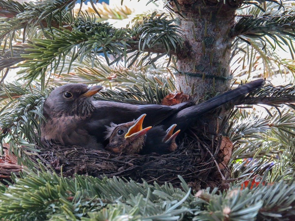 Tips for Providing Nesting Material for Birds Nest of Blackbirds #Wildlife #NativePlants #Gardening #Birds #AttractBirds #NestingMaterials #NestBuilding #BeneficialForPollinators #GardeningForPollinators