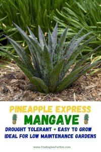 PINEAPPLE EXPRESS Mangave Drought Tolerant Easy to Grow #Mangave #PineappleExpressMangave #Garden #Gardening #MadAboutMangave #DroughtTolerant #Succulent #WaltersGardensInc