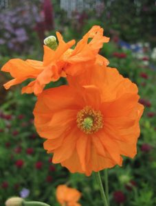 Waterwise Gardening Papaver atlanticum Flore Pleno Moroccan Poppy #Gardening #DroughtTolerant #DroughtResistant #BeneficialForPollinators #GardeningForPollinators #Waterwise #WaterWiseGarden