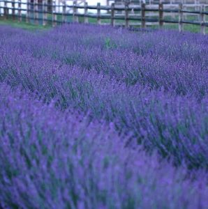 Waterwise Gardening Phenomenal Lavender #Gardening #DroughtTolerant #DroughtResistant #BeneficialForPollinators #GardeningForPollinators #Waterwise #WaterwiseGarden