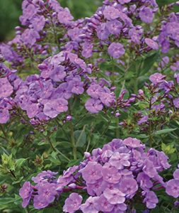 Waterwise Gardens Phlox paniculata, Cover Girl #Gardening #DroughtTolerant #DroughtResistant #BeneficialForPollinators #GardeningForPollinators #Waterwise #WaterWiseGarden