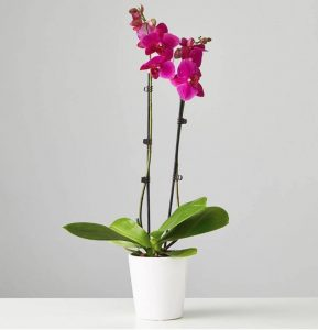 Plants Com - Large Purple Phalaenopsis Orchid #flowers #flowerdelivery #bouquets #OnlineFlowers #FlowersOnline #MothersDay #FlowersForMom #GiveMomFlowers