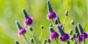 Plants that are Drought Tolerant Prairie Clover Photo- NPS, Erin Anfinson #Garden #Gardening #DroughtTolerant #DroughtResistant #BeneficialForPollinators #GardeningForPollinators #Waterwise #WaterwiseGarden