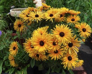 Plants that are Drought Tolerant Rudbeckia hirta Chim Chiminee #Gardening #DroughtTolerant #DroughtResistant #BeneficialForPollinators #GardeningForPollinators #Waterwise #WaterWiseGarden