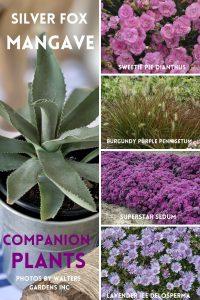 SILVER FOX Mangave Companion Plants #Mangave #SilverFoxMangave #Garden #Gardening #MadAboutMangave #DroughtTolerant #Succulent #WaltersGardensInc