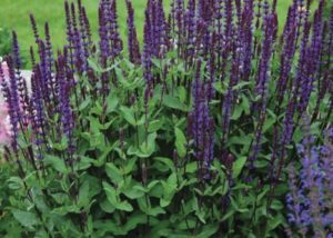 Waterwise Gardening Salvia n. Caradonna photo by Walters Gardens Inc #Gardening #DroughtTolerant #DroughtResistant #BeneficialForPollinators #GardeningForPollinators #Waterwise #WaterWiseGarden