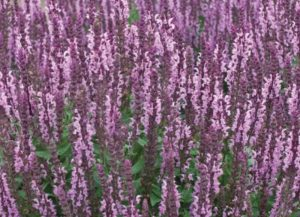 Plants that are Drought Tolerant Salvia n. Sensation Deep Rose photo by Walters Gardens Inc #Gardening #DroughtTolerant #DroughtResistant #BeneficialForPollinators #GardeningForPollinators #Waterwise #WaterWiseGarden