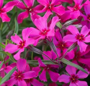 Waterwise Plants Scarlet Flame Creeping Phlox #Gardening #DroughtTolerant #DroughtResistant #BeneficialForPollinators #GardeningForPollinators #Waterwise #WaterWiseGarden