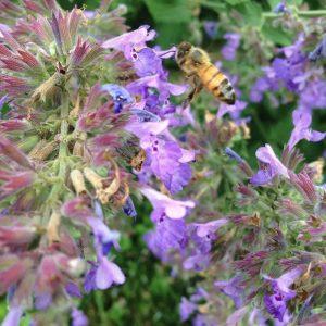 Plants that are Drought Tolerant Select Blue Nepeta #Gardening #DroughtTolerant #DroughtResistant #BeneficialForPollinators #GardeningForPollinators #Waterwise #WaterWiseGarden