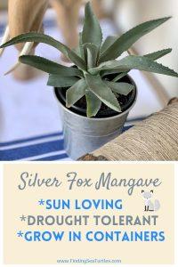 Silver Fox Mangave Sun Loving Drought containers #Mangave #SilverFoxMangave #Garden #Gardening #MadAboutMangave #DroughtTolerant #Succulent #WaltersGardensInc