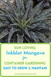 Sun Loving Inkblot Mangave for Container Gardening Easy to Grow #Mangave #InkBlotMangave #Garden #Gardening #MadAboutMangave #DroughtTolerant #Succulent #WaltersGardensInc