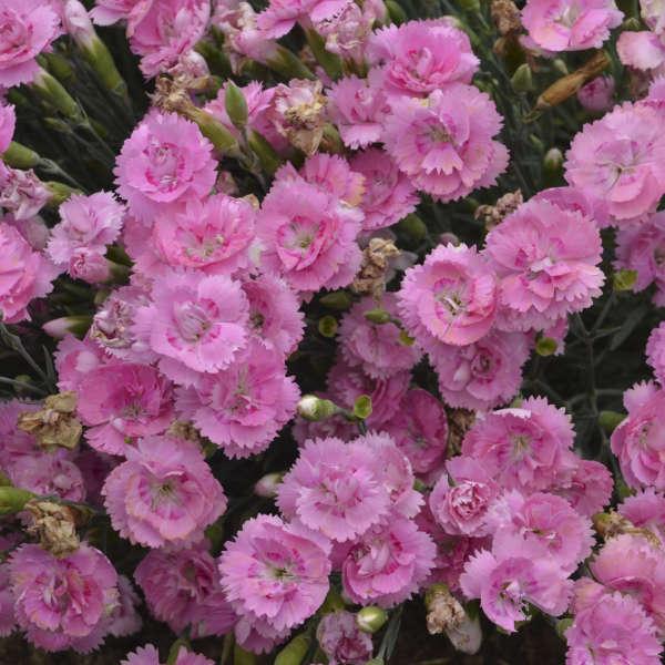 Sweetie Pie Dianthus #Mangave #SilverFoxMangave #Garden #Gardening #MadAboutMangave #DroughtTolerant #Succulent #WaltersGardensInc