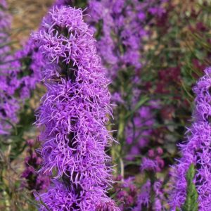 Waterwise Gardening Texas Blazing Star #Gardening #DroughtTolerant #DroughtResistant #BeneficialForPollinators #GardeningForPollinators #Waterwise #WaterwiseGarden