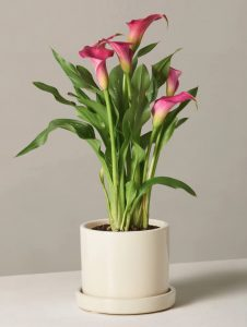 Best Online Flowers and Plants - Calla Lily by The Sill #flowers #flowerdelivery #bouquets #OnlineFlowers #FlowersOnline #MothersDay #FlowersForMom #GiveMomFlowers
