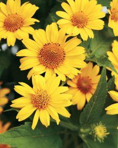 Heat Tolerant Tuscan Sun Perennial Sunflower #Gardening #DroughtTolerant #DroughtResistant #BeneficialForPollinators #GardeningForPollinators #Waterwise #WaterwiseGarden