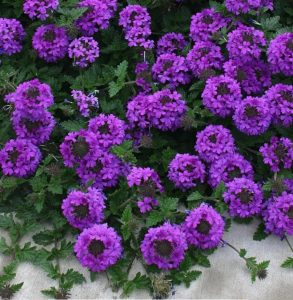 Waterwise Plants Valley Lavender Plains Verbena #Gardening #DroughtTolerant #DroughtResistant #BeneficialForPollinators #GardeningForPollinators #Waterwise #WaterWiseGarden