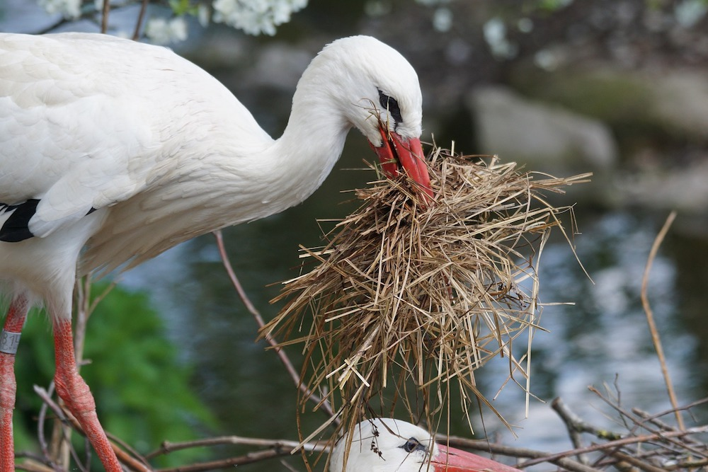 Tips for Providing Nesting Material for Birds White Stork with dry nesting material #Wildlife #NativePlants #Gardening #Birds #AttractBirds #NestingMaterials #NestBuilding #BeneficialForPollinators #GardeningForPollinators