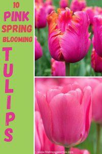 10 Pink Spring Blooming Tulips #Tulips #PinkTulips #SpringBlooming #SpringTulips #SpringFlowers #Tulips #SpringBulbs #FallPlanting #Gardening #FallisForPlanting