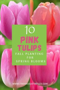 10 Pink Tulips Fall Planting for Spring Blooms #Tulips #PinkTulips #SpringBlooming #SpringTulips #SpringFlowers #Tulips #SpringBulbs #FallPlanting #Gardening #FallisForPlanting