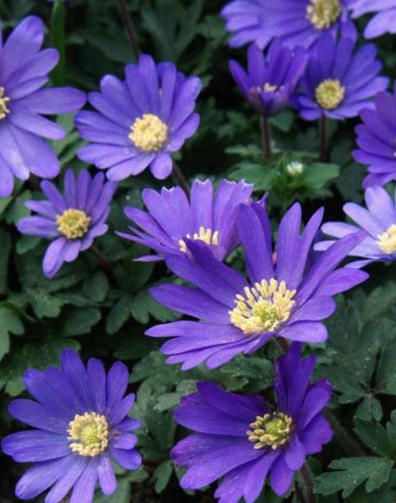 Companion Plants for Tulips and Daffodils Anemone Blanda Blue Shades #Anemone #SpringAnemone #SpringBlooming #SpringFlowers #FallPlanting #Gardening #FallisForPlanting