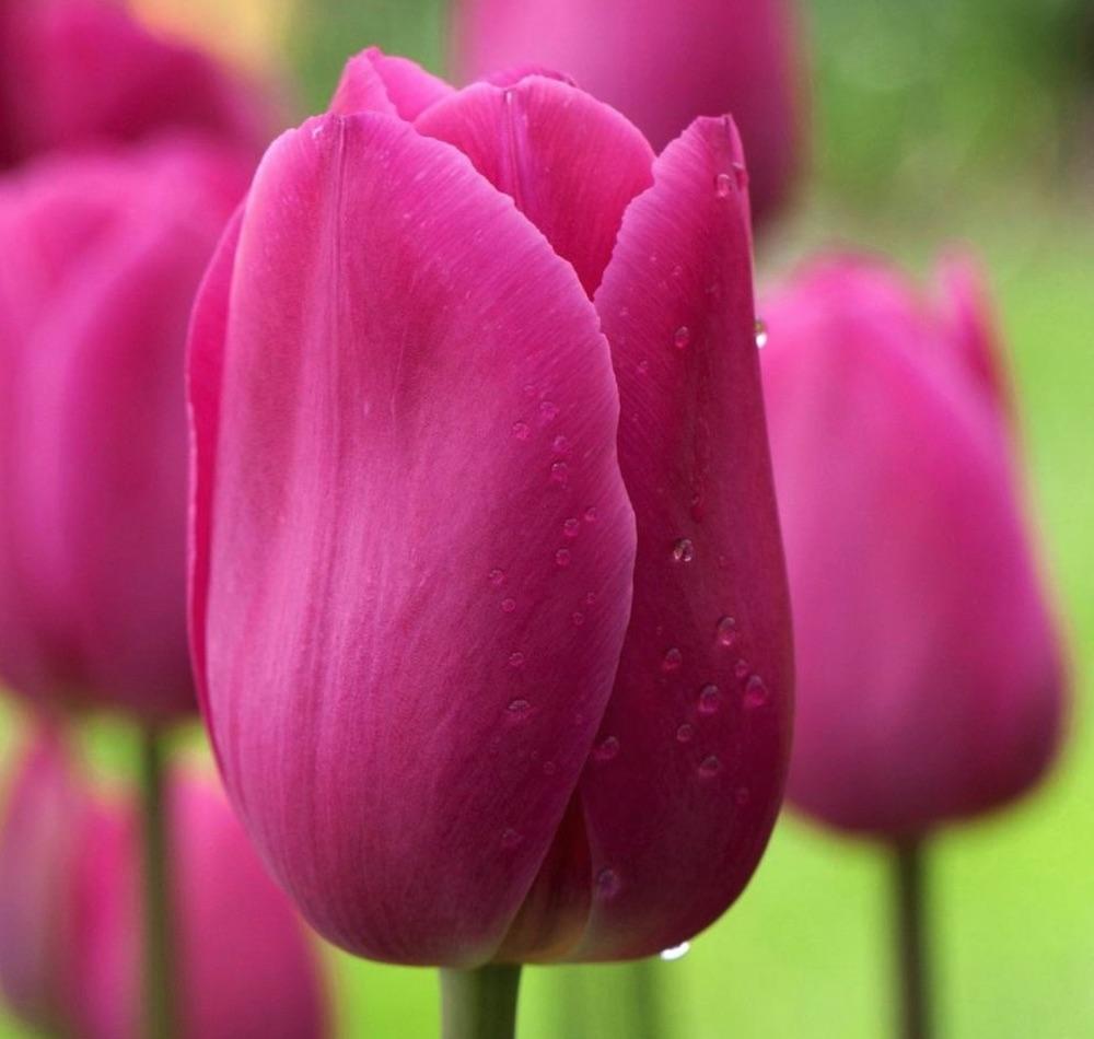 Early Season Garden Color Barcelona Tulip #Tulips #PinkTulips #SpringBlooming #SpringTulips #SpringFlowers #Tulips #SpringBulbs #FallPlanting #Gardening #FallisForPlanting