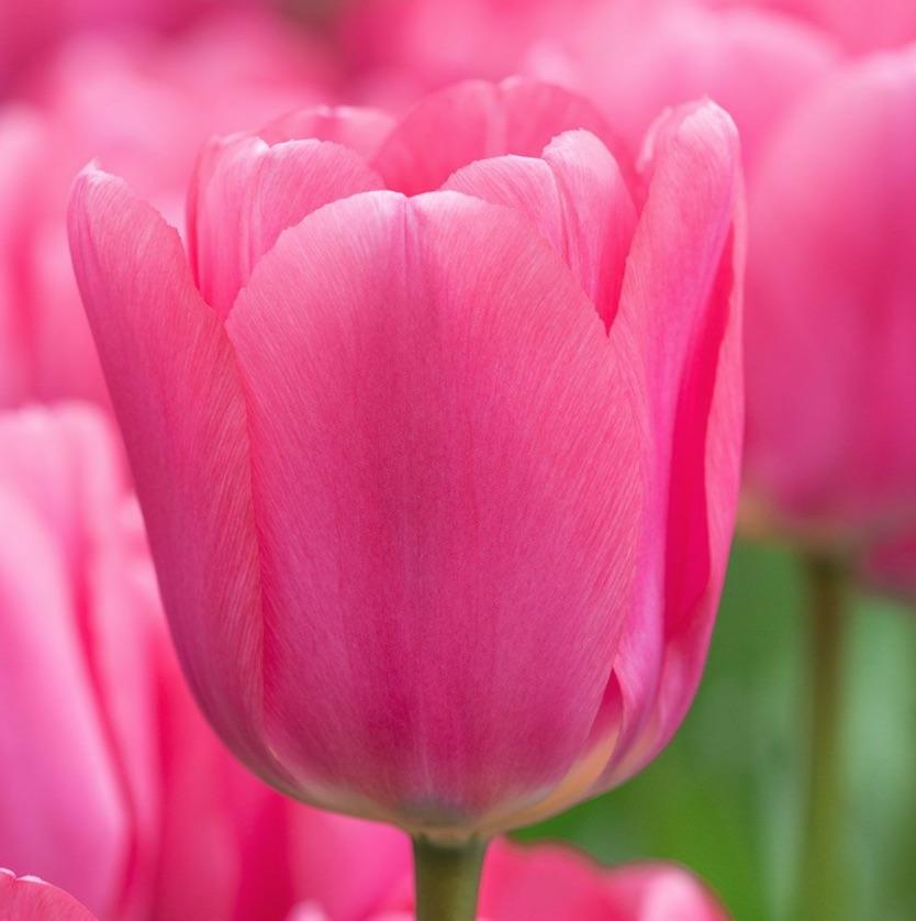 Early Season Garden Color Big Love Tulip #Tulips #PinkTulips #SpringBlooming #SpringTulips #SpringFlowers #Tulips #SpringBulbs #FallPlanting #Gardening #FallisForPlanting