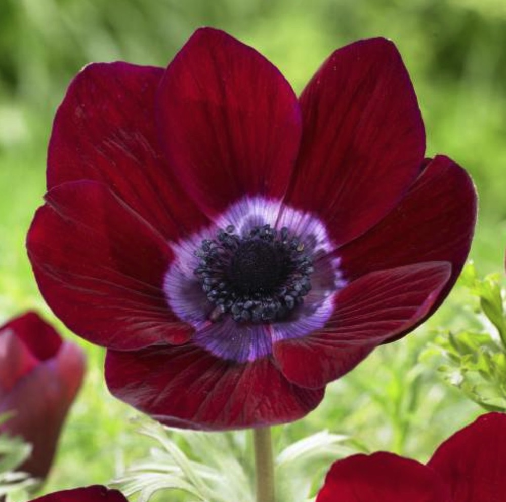 Spring Blooming Anemone Bordeaux Anemone #Anemone #SpringAnemone #SpringBlooming #SpringFlowers #FallPlanting #Gardening #FallisForPlanting