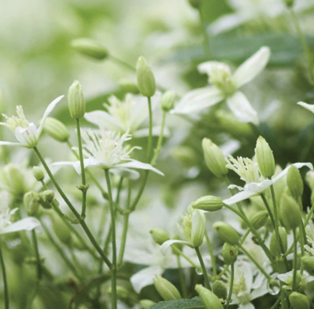 Autumn Flowers for Bees butterflies and birds Clematis p. Sweet Autumn #Vines #FallBlooming #FallBloomingVines #VinesForPollinators #PollinatorVines #FallFlowers #Gardening #FallisForPlanting