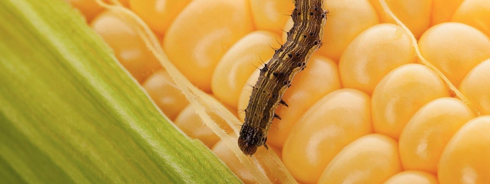 Benefits of Bats to Plant Life Corn Earworm photo by Safer Brand #Bats #BenefitsofBats #InsectControl #Pollinators #Gardening #SeedDispersal #OrganicGardening