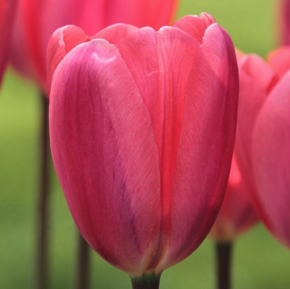 Early Season Garden Color Cosmopolitan Tulip #Tulips #PinkTulips #SpringBlooming #SpringTulips #SpringFlowers #Tulips #SpringBulbs #FallPlanting #Gardening #FallisForPlanting