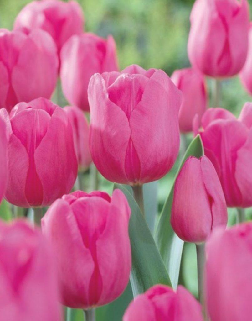 Early Season Garden Color Don Quichotte Tulip #Tulips #PinkTulips #SpringBlooming #SpringTulips #SpringFlowers #Tulips #SpringBulbs #FallPlanting #Gardening #FallisForPlanting