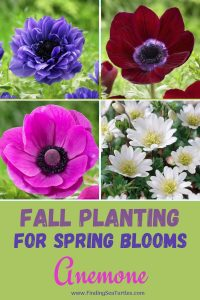 Fall Planting for Spring Blooms Anemone #Anemone #SpringAnemone #SpringBlooming #SpringFlowers #FallPlanting #Gardening #FallisForPlanting