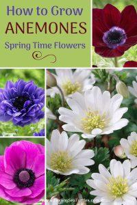How to Grow ANEMONES Spring Time Flowers #Anemone #SpringAnemone #SpringBlooming #SpringFlowers #FallPlanting #Gardening #FallisForPlanting