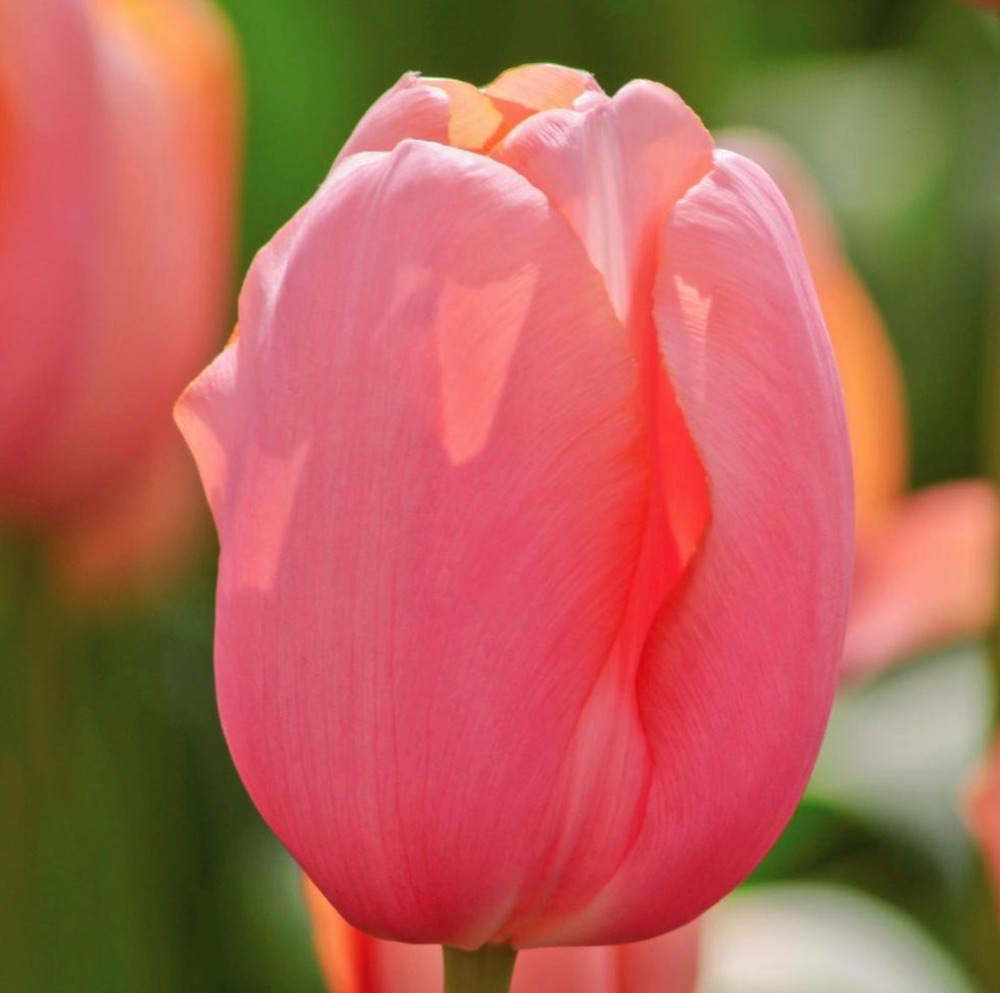 Early Season Garden Color Menton Tulip #Tulips #PinkTulips #SpringBlooming #SpringTulips #SpringFlowers #Tulips #SpringBulbs #FallPlanting #Gardening #FallisForPlanting